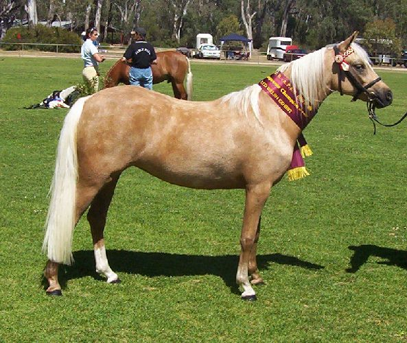 Murraygold Jassmyn owned by Murraygold Stud